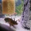 Aquarium mit axelotn